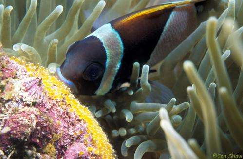 Why the urge to find 'Nemo' has helped fish diversify