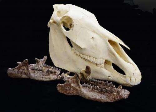 Ancient rhino-relatives were water-loving