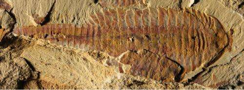 Ancient shrimp-like animals had 'modern' hearts and blood vessels