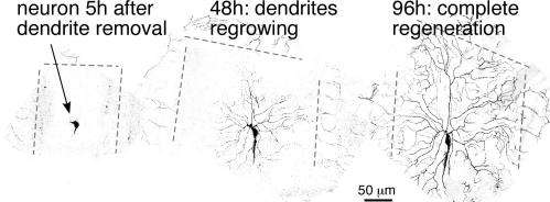 A new pathway for neuron repair is discovered