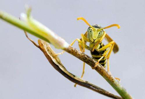 A new therapy for breast cancer is being designed using wasp venom