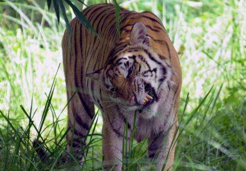 An Indian Royal Bengal tiger is seen at a wildlife sanctuary in India on July 4, 2009
