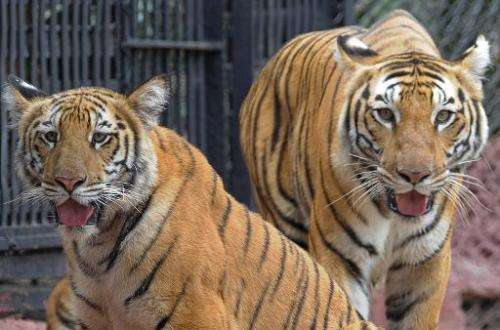 A nine-month old yet-to-be-named tiger cub is pictured with its mother Aparna (right) in their enclosure at the Nehru Zoological