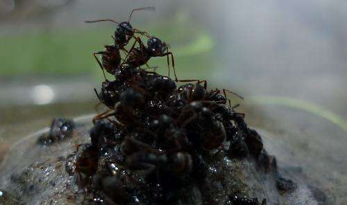 Ants build raft to escape flood, protect queen