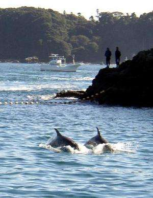 A photo taken in November 2003 shows two dolphins being herded by fishing boats into a cove near the village of Taiji, central J
