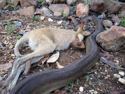 A python begins to swallow a wallaby at Nitmiluk National Park in Australia's Northern Territory on December 29, 2014