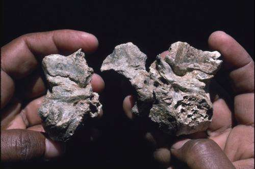 'Ardi' skull reveals links to human lineage