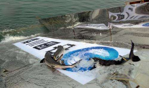 Artificially bred Chinese sturgeons are released into the Yangtze river in China's Hubei province on April 13, 2014