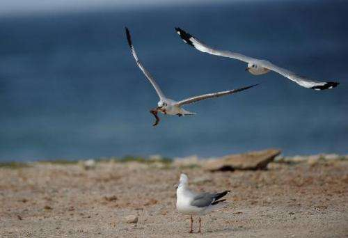 A seagull flies around the sea front in Port Elizabeth, South Africa, where a fish farm is in talks to be built, despite concern
