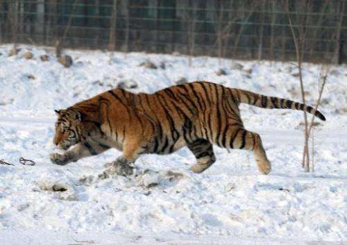 A Siberian tiger in Harbin, northeast China's Heilongjiang province. A park specifically for the animals was built in 1996
