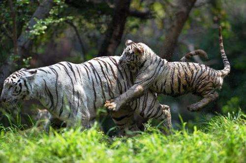 A six-month old Indian white tiger cub (R) plays with its mother at their enclosure in Hyderabad on March 29, 2014