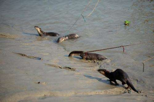 Bangladeshi otters are held by their fishermen masters on ropes as they wait to catch fish in Narail some 208kms from Dhaka on M