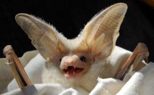 Bats change strategy when food is scarce