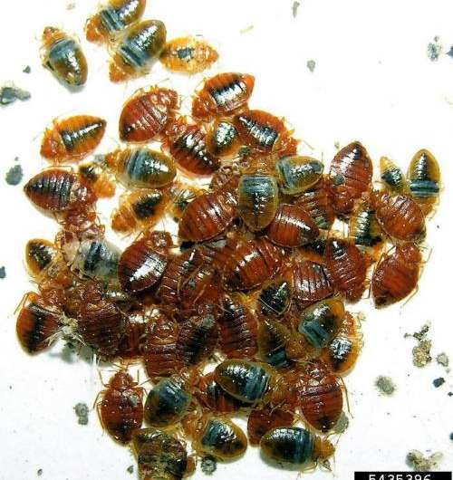 Bed bugs grow faster in groups