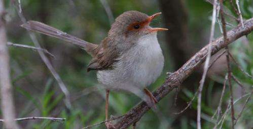 Bird song – it's not just a male gig