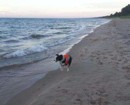 Border collies chase away beach contamination