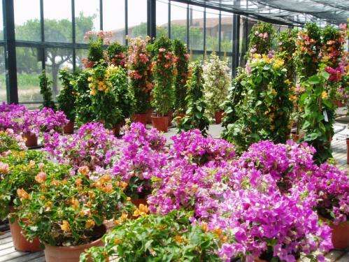 Bougainvillea's response to deficit irrigation tested