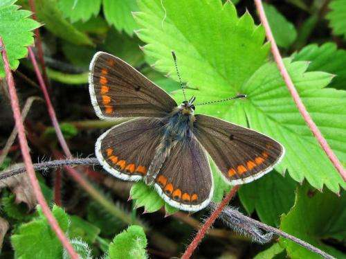Butterflies' evolutionary responses to warmer temperatures may compromise their ability to adapt to future climate change