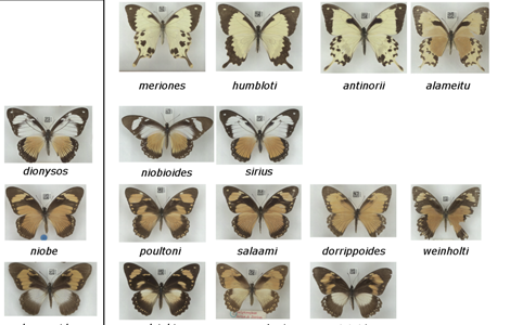 Butterfly collection pinpoints brilliance of mimicry
