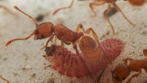 Butterfly larvae mimic queen ant to avoid detection