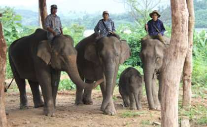 Captive elephants in Laos face extinction