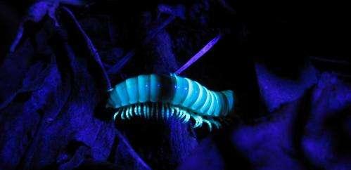 Capturing beautiful millipedes in Ohio
