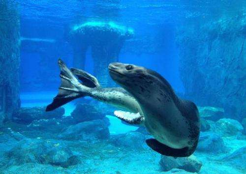 Casey, the world's only captive leopard seal swims in an aquarium at Taronga Zoo