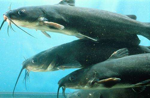 Catfish industry embraces USDA pond management research