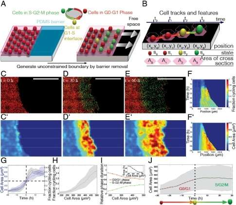 Cellular area correlates with cell cycle progression during tissue invasion