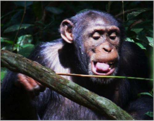 Chimpanzees have favorite 'tool set' for hunting staple food of army ants