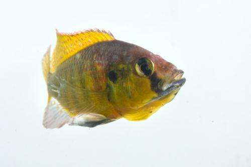 Cichlid fish genome helps tell story of adaptive evolution