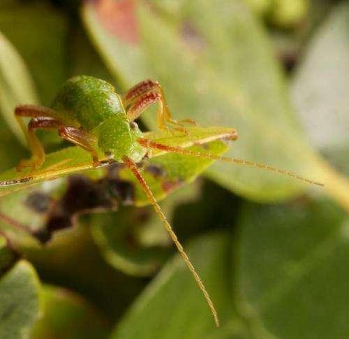 Close up of Timema cristianae