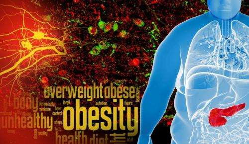 Clues to curbing obesity found in neuronal 'sweet spot'