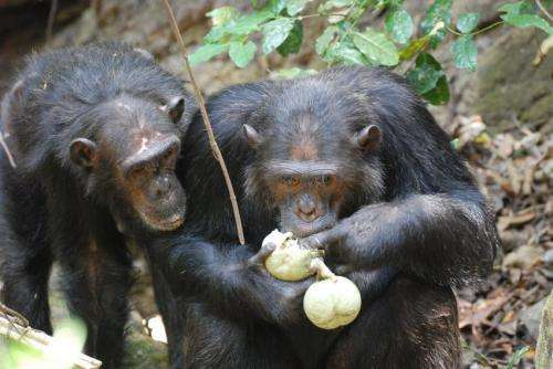 Compared with apes, people's gut bacteria lack diversity, study finds