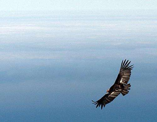 Condors with greater independence have higher lead levels