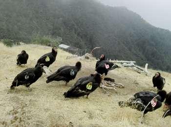 'Condor Watch' enlists citizen scientists to help an endangered species