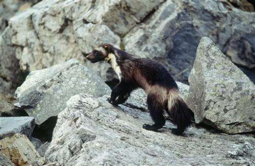 Conservation groups to sue over wolverine decision