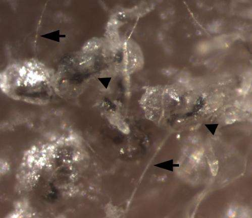 Converting adult human cells to hair-follicle-generating stem cells