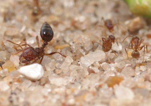 Crazy ants dominate fire ants by neutralizing their venom