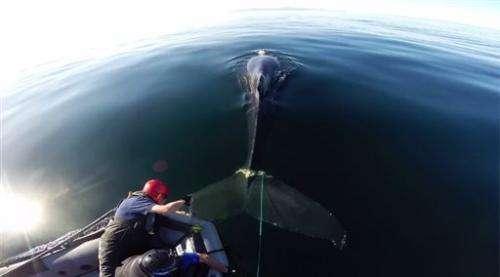 Crews free entangled whale off California coast