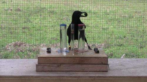 Crows complete basic 'Aesop's fable' task