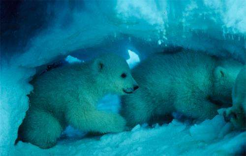 Den conditions reveal status of polar bears as they face decreasing ice