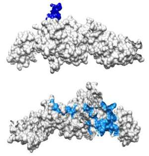 Details of monkey antibodies against chikungunya virus could help to fight the disease in humans