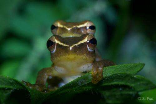 Researchers discover unusual parenting behavior by a Southeast Asian treefrog