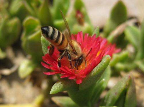 Diet affects pesticide resistance in honey bees