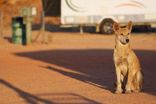 Dingo found as culprit to WA sheep decline