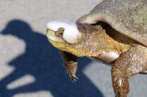 Ecologists save endangered turtles weakened by the drought