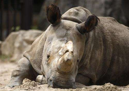 Efforts to save rare northern white rhino continue