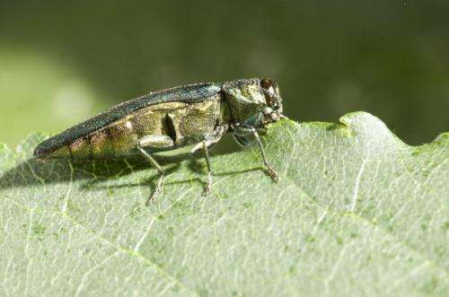 Emerald ash borers were in US long before first detection