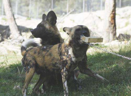 Odor that smells like blood: Single component powerful trigger for large carnivores